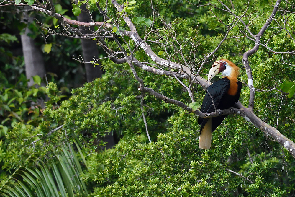 """Papuan or Blyth's hornbill (Rhyticeros plicatus), Triton Bay rainforest, Mainland New Guinea, Western Papua, Indonesian controlled New Guinea, on the Science et Images """"Expedition Papua, in the footsteps of Wallace"""", by Iris Foundation"""