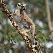 Ring-tailed Lemur, (Lemur catta) ENDANGERED SPECIES. In the Spiney Forest. Madagascar.