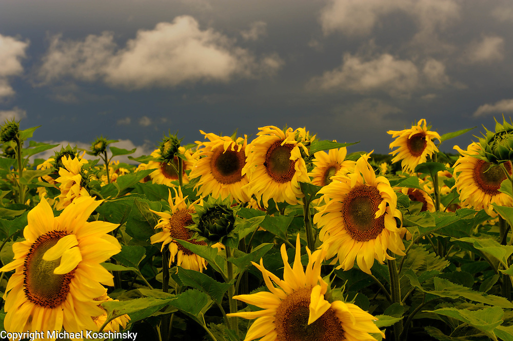 Sunflowers before Storm