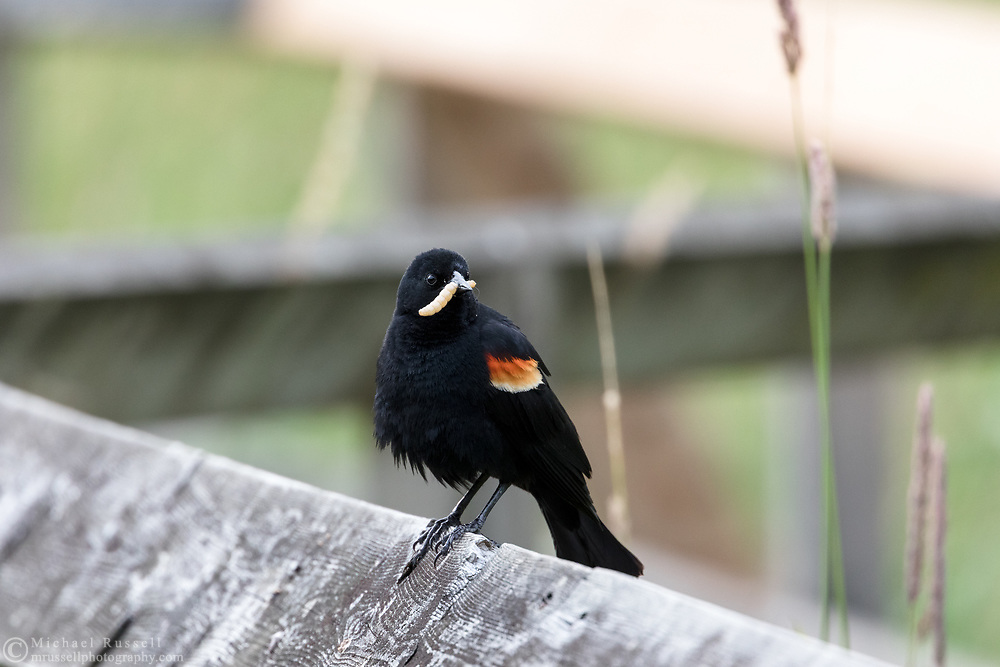 Red-winged Blackbird (Agelalus phoeniceus) sitting on boardwalk railing with a grub for nearby chicks at Elgin Heritage Park in Surrey, British Columbia, Canada