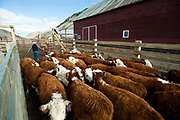 PRICE CHAMBERS / NEWS&GUIDE<br /> Cody Lockhart cuts out a calf for inspection on weening day at the Lockhart Cattle Company.