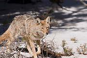 08 FEBRUARY 2004 -- GRAND CANYON NATIONAL PARK, AZ: A coyotes walks through the snow on the south rim of the Grand Canyon national Park. PHOTO BY JACK KURTZ