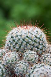Mammillaria canelensis - cactus