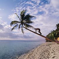 Fiji Islands, Yanuca Island, beach scene, tree climbing