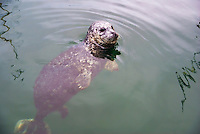 Harbour Seal, Victoria, British Columbia, Canada