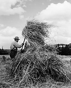 """9969-2475. Building a hay shock. Lee Davis. June 27, 1936. Published on cover of the Sunday Oregonian's """"Farm Home and Garden"""" magazine July 19, 1936 """"As a restful occupation on a warm afternoon, shocking hay is absolutely not recommended. At that, although its hard work, Lee Davis seems to be enjoying himself as he builds a hay shock on the Stanley Rogers Farm, near Aurora"""""""
