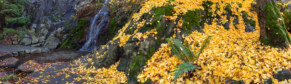The ground next to the waterfall at Queen Elizabeth Park is covered in yellow Ginkgo biloba leaves in the fall.  Photographed from the Queen Elizabeth Park Quarry Gardens in Vancouver, British Columbia, Canada.