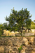 A lemon tree growing on a stone terrace on the Orkos Estate, Paxos, Greece, Europe