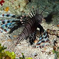 Lionfish, Pterois volitans, (Linnaeus 1758), On the reef, Grand Cayman