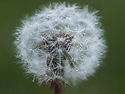 Dandelion (Taraxacum officinale) close up of flower seed head, Kent, UK