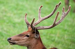 THEMENBILD - ein Hirsch in einem Gehege am Riedberg im Zillertal // a stag is seen in a enclosure in Riedberg, Austria on 2017/07/28. EXPA Pictures © 2017, PhotoCredit: EXPA/ Jakob Gruber