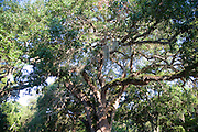 Oak tree, St. Augustine, Florida, USA<br />
