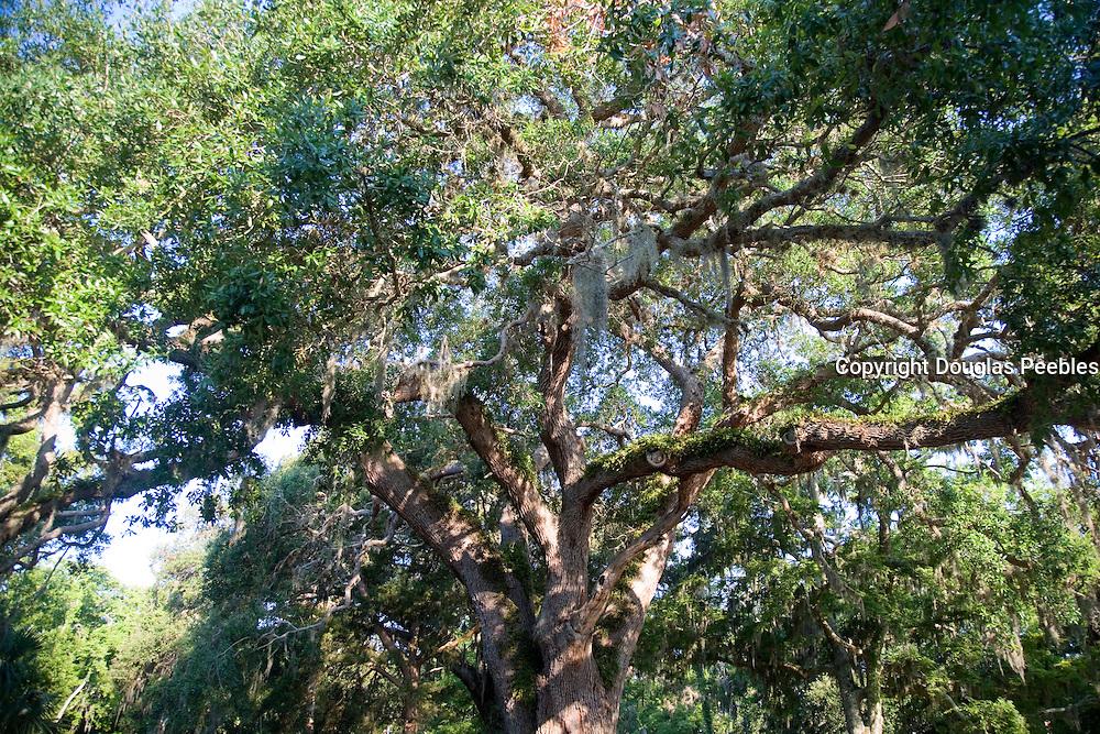 Oak tree, St. Augustine, Florida, USA<br />