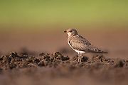The black-winged pratincole (Glareola nordmanni) is a wader in the pratincole bird family, Photographed in Israel in September