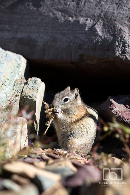 Closeup of a chipmunk chewing and eating its food. Found this little guy while hiking on a trail in Glacier National Park.