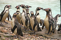 Humboldt Penguins, ZSL London Zoo Annual Stocktake 2015, Regents Park, London UK, 05 January 2015, Photo By Brett D. Cove