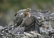 Bonelli's Eagle Juvenile - Aquila fasciata