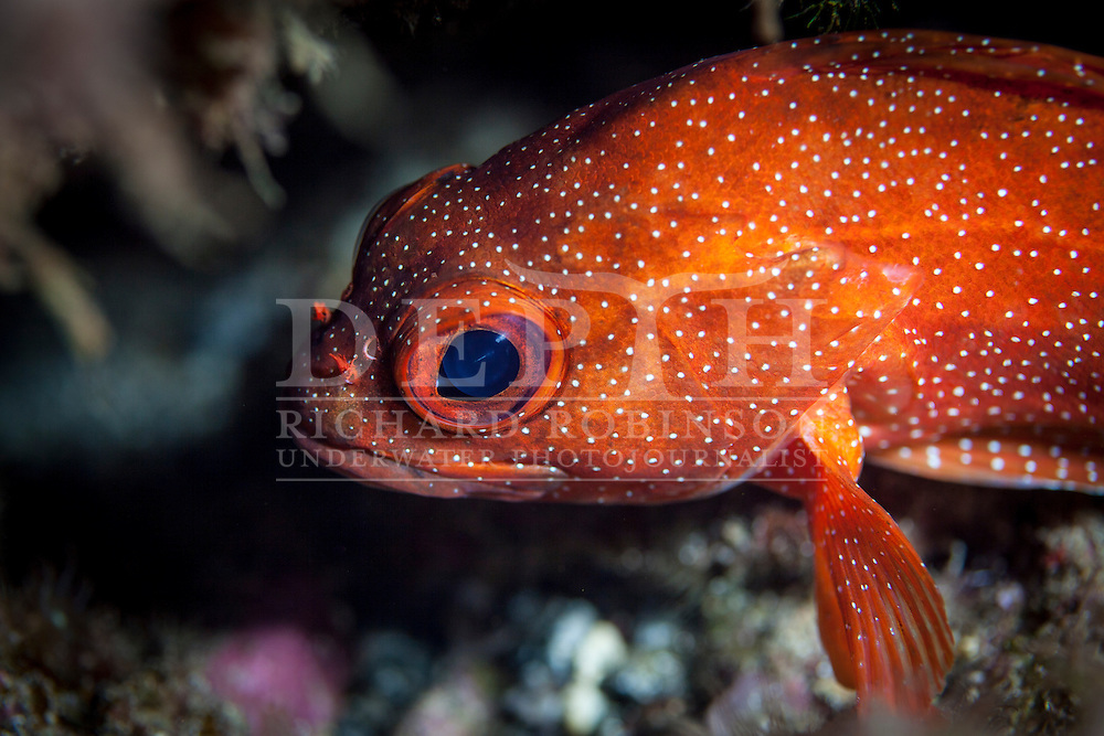 Trachypoma macracanthus (Toadstool grouper) <br /> Friday 23 January 2015<br /> Photograph Richard Robinson © 2015<br /> Dive Number: 570<br /> Site: North Meyer Island, Western Side, Kermadecs. <br /> Boat: Brave Heart<br /> Dive Buddy: Stephen Ulrich<br /> Time: 12:00<br /> Temperature: 22<br /> Maximum Depth: 23 meters<br /> Bottom Time: 60 minutes<br /> Bottom Time to Date: 39,577 minutes<br /> Cumulative Time: 39,637 minutes