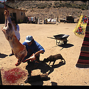 Edward Shepherd slaughters a sheep for meat to be used in a Native American Church ceremony blessing a shipment of peyote from Texas.  The ever-pragmatic Navajos blend elements of the peyote-based church's teachings with both Christianity and traditional beliefs. Sunrise Springs, Arizona.