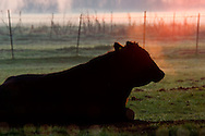 Male Bull cow lying in grass in farm pasture field at morning sunrise, Merced County, Central Valley, California
