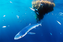 blue shark pup, Prionace glauca, .with school of jack mackerel, Trachurus .symmetricus, under drifting kelp paddy, .San Diego, California (E. Pacific)