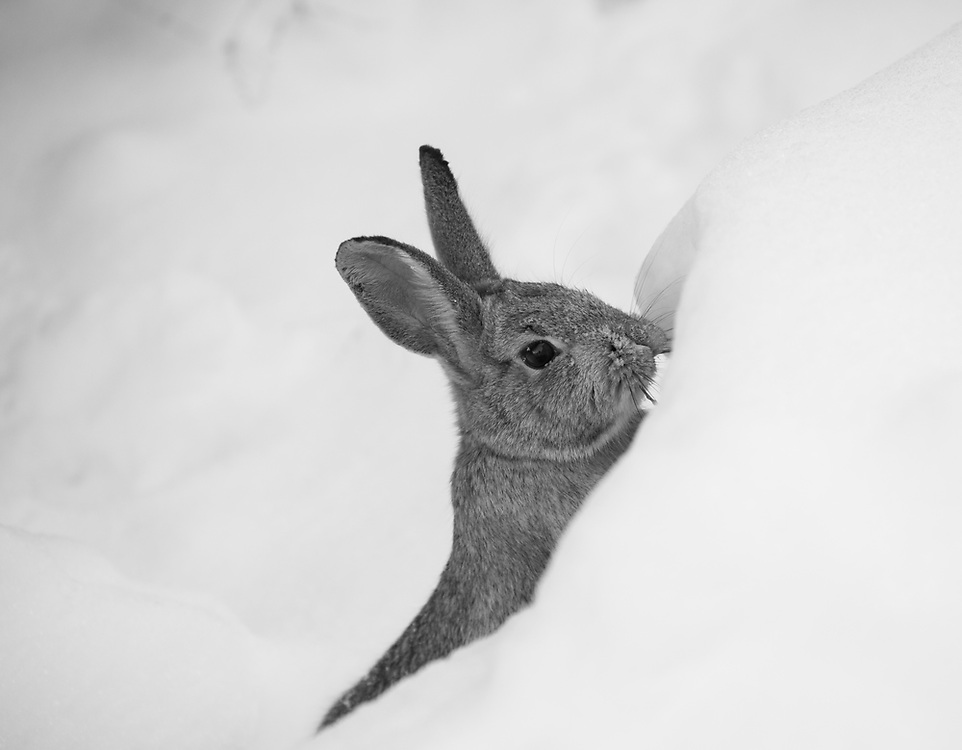 Cottontail emerging from the snow, checking out its surroundings ...