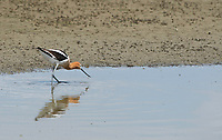 American Avocet, Recurvirostra americana, hunts for insects and small crustaceans in shallow water at Sacramento National Wildlife Refuge, California