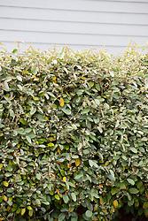Hedge of Elaeagnus × ebbingei