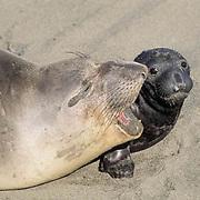 Northern Elephant Seal, (Mirounga angustirostris)  Portrait of female bonding with newborn. California.