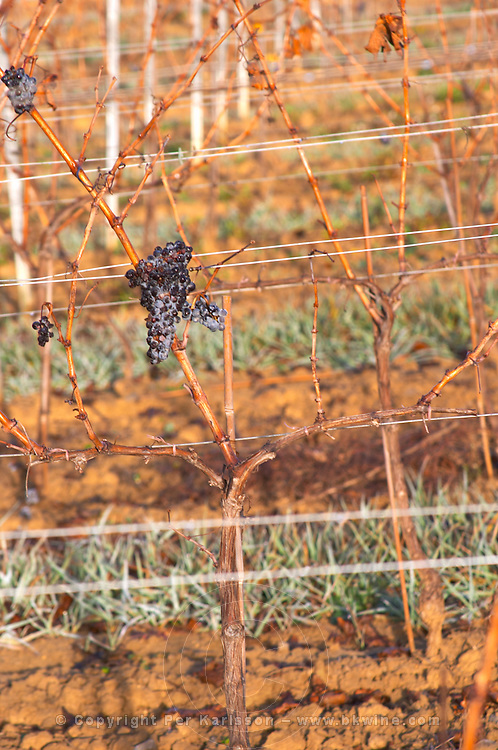 Grape bunch in morning winter frost. Domaine Jean Louis Denois. Limoux. Languedoc. Young vines. France. Europe. Vineyard.