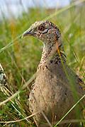 Fasan, Jagdfasan, Jagd-Fasan, Weibchen, Henne, Phasianus colchicus, common pheasant, ring-necked pheasant