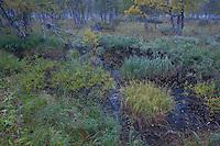 Bog woodland with mixed boreal species, Sarek National Park, Laponia World Heritage Site, Sweden