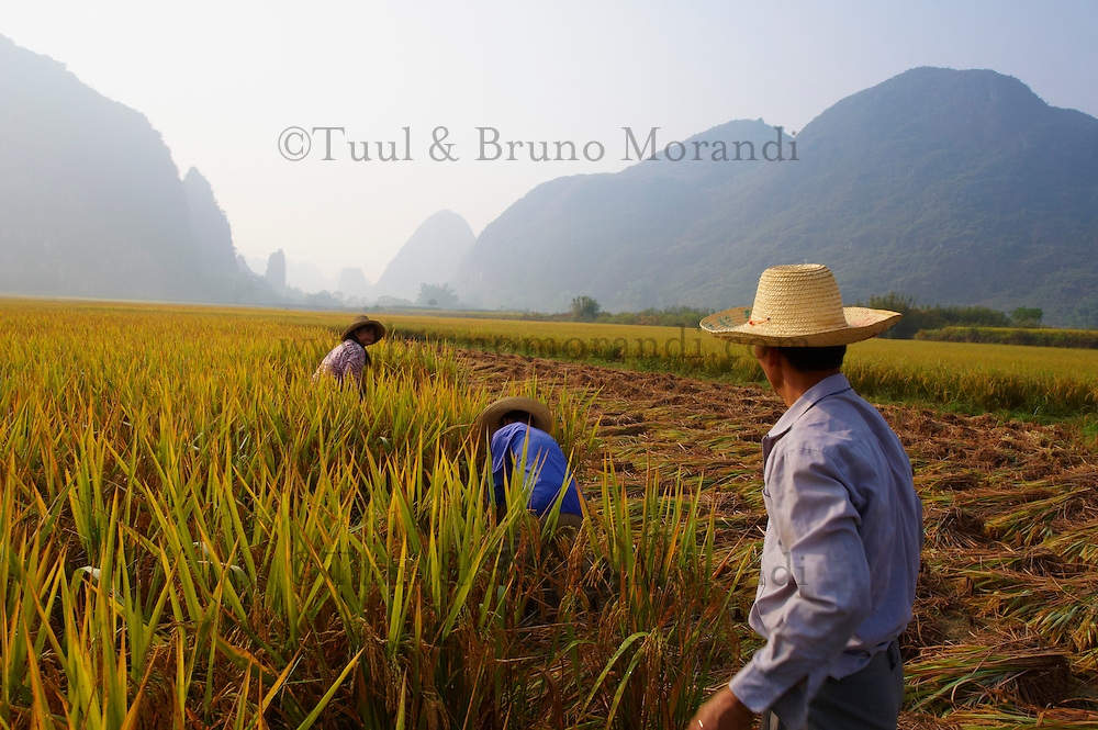 Chine, Province du Guangxi, region de Guilin, moissons dans les rizieres // China, Guangxi province, Guilin area, harvest on the rice field