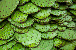 North America, Mexico, Guanajuato State, San Miguel de Allende, prickly pear cactus for sale in market