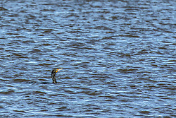 A Double Crested Cormorant (Phalacrocorax Carbo) swimming in  the blue water in late winter at Emiquon National Wildlife Refuge near Lewistown in Fulton Co Illinois