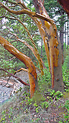 Madrona tree, Stuart Island, San Juan Islands, Washington State