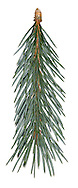 Engelmann's Spruce Picea engelmannii (Pinaceae) HEIGHT to 30m. Slender, conical evergreen. Trunk thin and narrowly tapering. BARK Greyish pink and scaly. BRANCHES Ascending and turning upwards at tips, with pendulous young shoots. LEAVES Pointed, 4-angled, bluish-green needles, to 2.5cm long, spread to reveal twig's lower surface but hide upper surface; smell is unpleasant when crushed. REPRODUCTIVE PARTS Narrowly oval cones, tapering to a point, to 7cm long, ripening brownish, with squarish toothed scales. STATUS AND DISTRIBUTION Native of Rocky Mountains in N America. Planted here, but scarce.