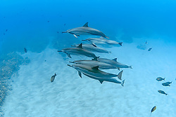 Long-snouted Spinner Dolphins, Stenella longirostris, Miloli`i, Big Island, Hawaii, Pacific Ocean