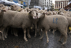 October 23, 2016 - Madrid, Madrid, Spain - Two thousand sheep are mustered through the city center to mark the seasonal migration of people with their livestock to south for their winter grazing and and to commemorate ancient paths of migration during the 23rd edition Fiesta de la Transhumancia (Transhumance Festival) in Madrid, Spain on 23 October 2016. (Credit Image: © Oscar Gonzalez/NurPhoto via ZUMA Press)
