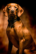 SHOT 7/20/05 3:46:17 PM - Tanner, a one year-old male Vizsla, poses for a portrait in Denver, Co. The Vizsla is a dog breed originating in Hungary, which belongs under the FCI group 7. The Hungarian or Magyar Vizsla are sporting dogs and loyal companions, in addition to being the smallest of the all-round pointer-retriever breeds.(Photo by Marc Piscotty / © 2005)