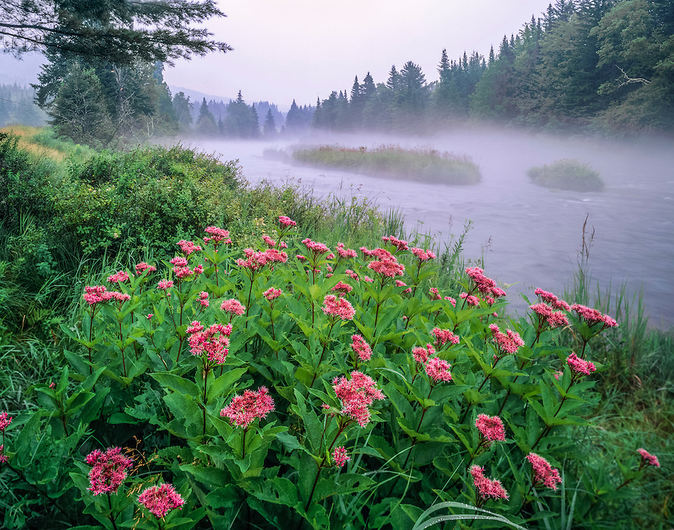 NH north country in fog, Joe-pye-weed & Connecticut River, Pittsburg, NH