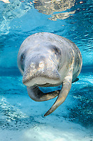 Florida manatee, Trichechus manatus latirostris, a subspecies of the West Indian manatee, endangered. A curious adult manatee rubs one flipper against another while floating in the warm blue freshwater next to a springhead. It is lit by strong warming sun rays. The snout, whiskers and nostrils are prominent. Vertical orientation with blue water and rainbow sun rays. Three Sisters Springs, Crystal River National Wildlife Refuge, Kings Bay, Crystal River, Citrus County, Florida USA.