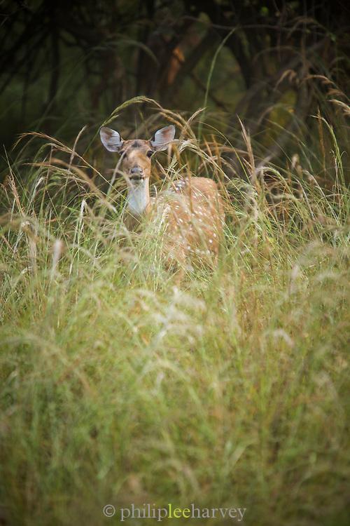 Spotted deer among long grass looking at camera, Tadoba National Park, India