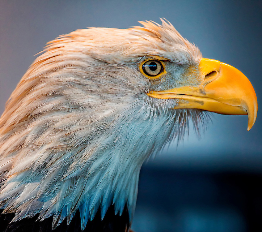 The Bald Eagle has been the national emblem of the United States since 1782 and a spiritual symbol for native people for far longer than that. These regal birds aren't really bald, but their white-feathered heads gleam in contrast to their chocolate-brown body and wings. Look for them soaring in solitude, chasing other birds for their food, or gathering by the hundreds in winter. Once endangered by hunting and pesticides, Bald Eagles have flourished under protection. <br /> <br /> The Bald Eagle dwarfs most other raptors, including the Turkey Vulture and Red-tailed Hawk. It has a heavy body, large head, and long, hooked bill. In flight, a Bald Eagle holds its broad wings flat like a board. <br /> <br /> Look for Bald Eagles near lakes, reservoirs, rivers, marshes, and coasts. For a chance to see large Bald Eagle congregations, check out wildlife refuges or large bodies of water in winter over much of the continent, or fish processing plants and dumpsters year-round in coastal Alaska and the Pacific Northwest.