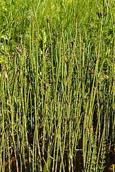 Holpijp, Equisetum fluviatile