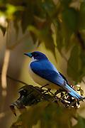 Blue vanga (Cyanolanius madagascarinus) Ankarana Special Reserve. nw MADAGASCAR