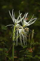 Also known as the coastalplain spiderlily, this water-loving member of the amaryllis family is found in wet, soggy soils in the American Southeast, often along streams, ponds, lakes, and rivers. This one was found next to a stream in a very remote rural forest in Grady County, Georgia on a sweltering, humid summer day.