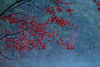 """""""Fall Snowstorm"""".October snow at Walden Pond.  Wet snow drenches a maple tree.  Fall views a Walden Pond"""
