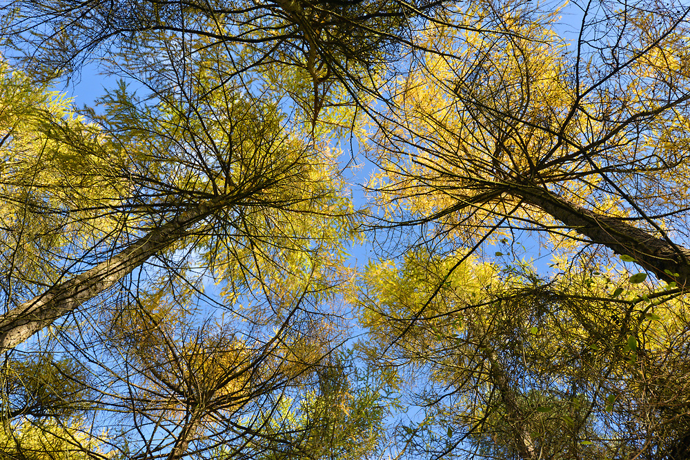 Autumn Larch canopy, Stoke Wood, Oxfordshire.