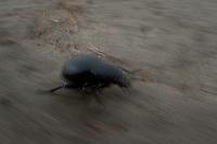 Bloody nosed beetles (Timarcha tenebricosa) in Moldova near adurea Domnesca National Park